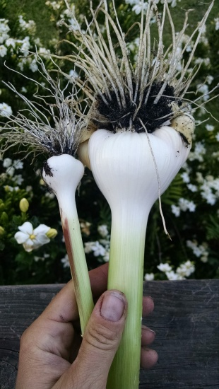 The garlic is erratic this year