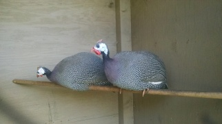 Two new Guinea hens