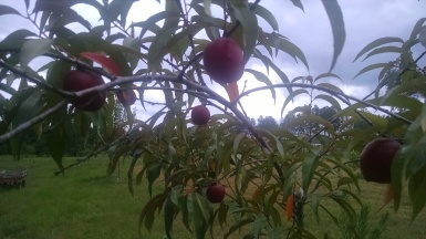 Our first Nectarines