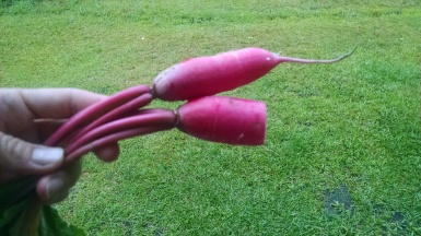 World's angriest radishes