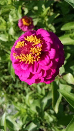 Zinnia are everywhere