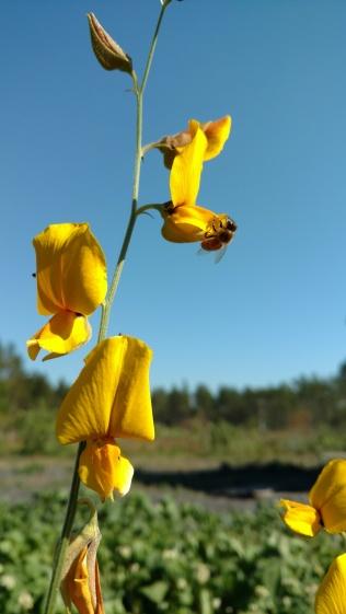 Bees like Sun Hemp