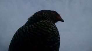 majestic hen