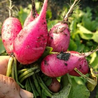 perfect tasting radishes